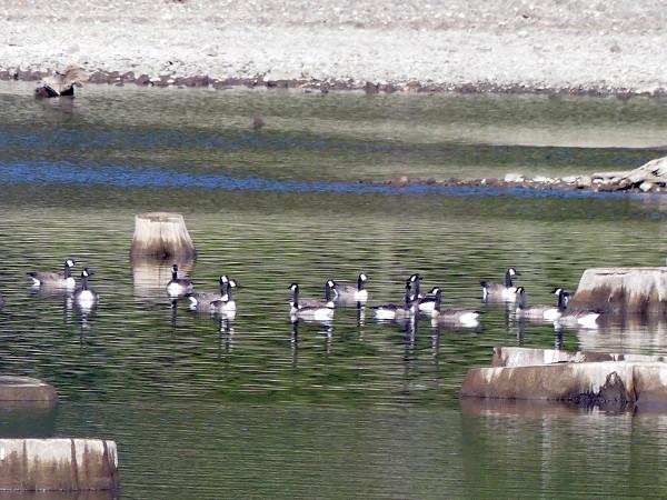 geese-on-lake
